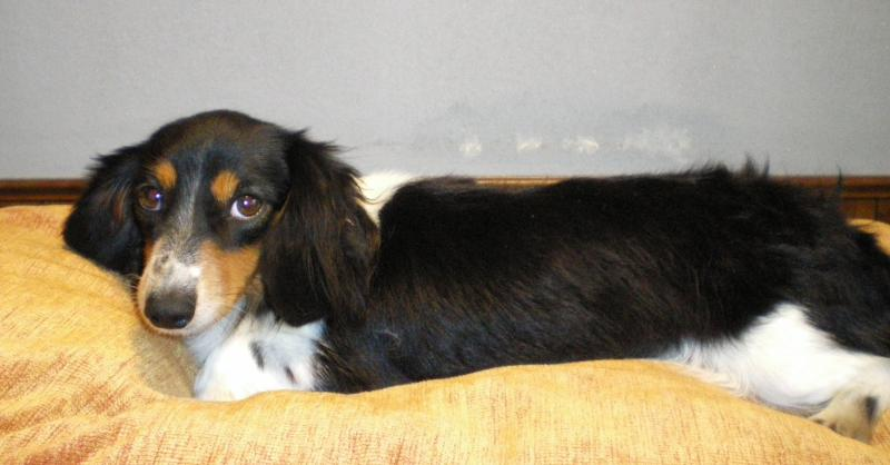WEEZEE - Our long hair piebald Dachshund. She is shy and very sweet ...
